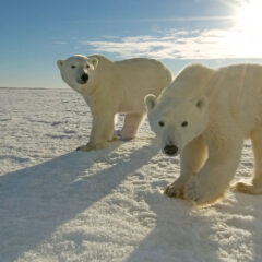Explore Grant Makes Live Web Streaming of Annual Polar Bear Migration Possible